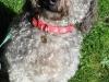 benji-the-dog
